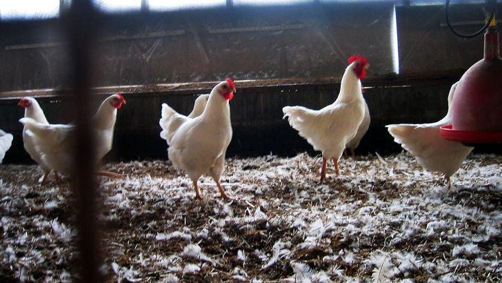 پشتیبانی امور دام به داد مرغداران برسد