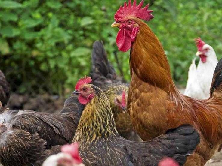 6 گونه مرغ بومی کشور اصلاح نژاد شد