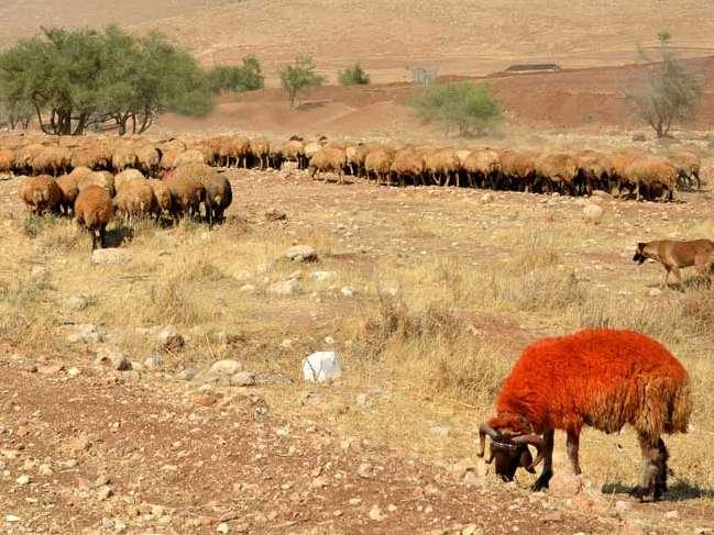 بعضی از شرایط خوب برای پرواربندی گوسفند