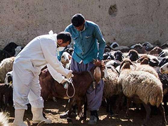 واکسیناسیون 240 هزار راس دام در قزوین علیه بیماری تب برفکی