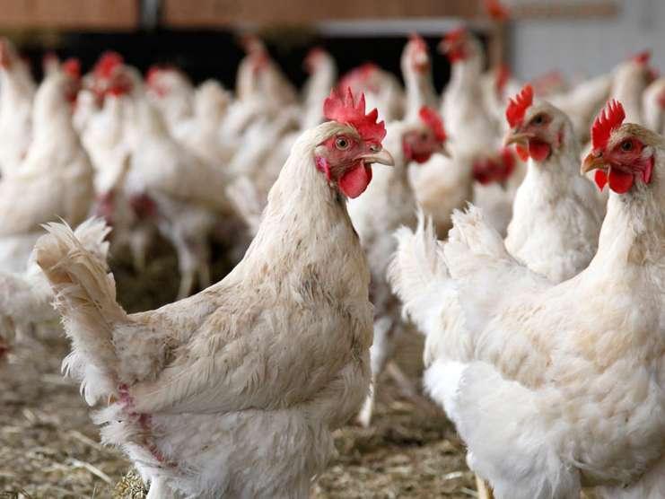 سن کشتار گله مرغ مادر به ۶۴هفته کاهش یافت