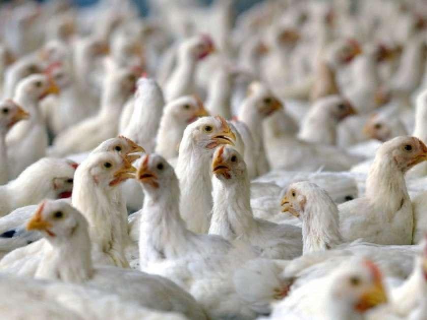 توسعه و رونق صنعت مرغ  مشروط به تولید در وزن استاندارد