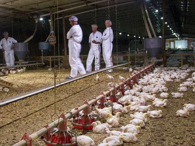 استانداردهای جدید آمریکا برای مرغ های گوشتی