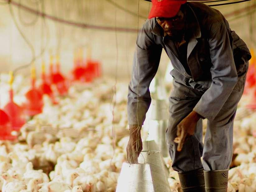 تهدید آنفلوانزای پرندگان در آفریقا