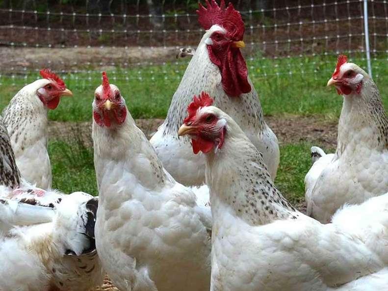 نکاتی در مورد کنترل جوندگان در محل نگهداری از مرغ های گوشتی