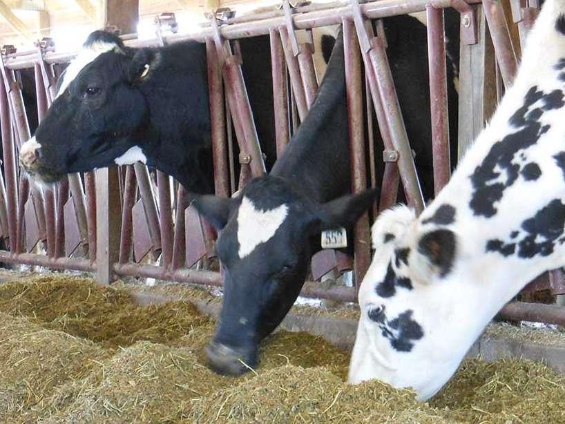 علوفه های زمستانی : کاهش هزینه ها  و افزایش وزن گاوها