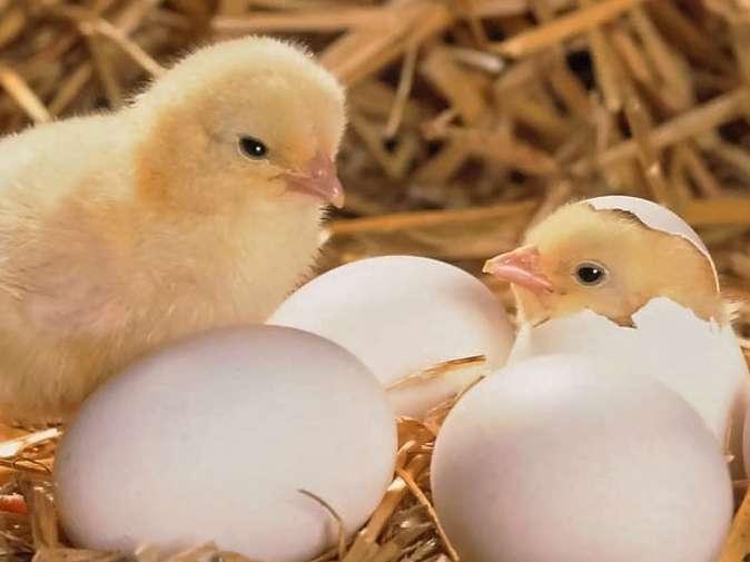 چرا باید خوراک آغازین را از روز اول جوجه آوری، شروع نمود؟