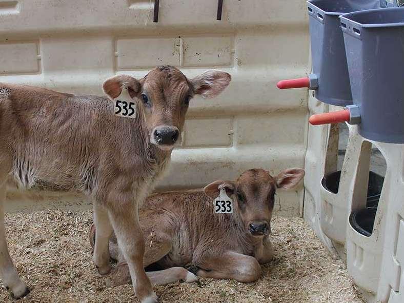جایگزین شیر گوساله