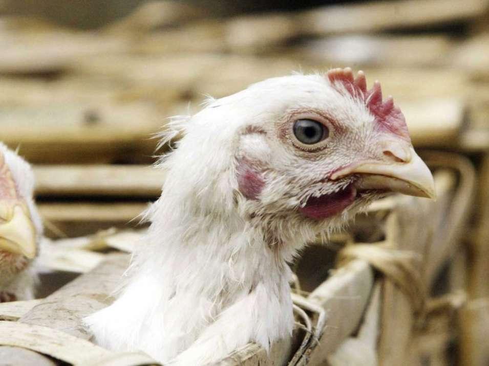 ۶ واحد مرغ گوشتی در قم درگیر آنفولانزا شدهاند