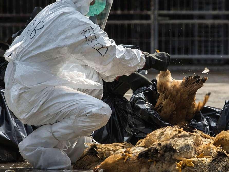یک میلیون مرغ آلوده به آنفلوانزا در ری معدوم شد