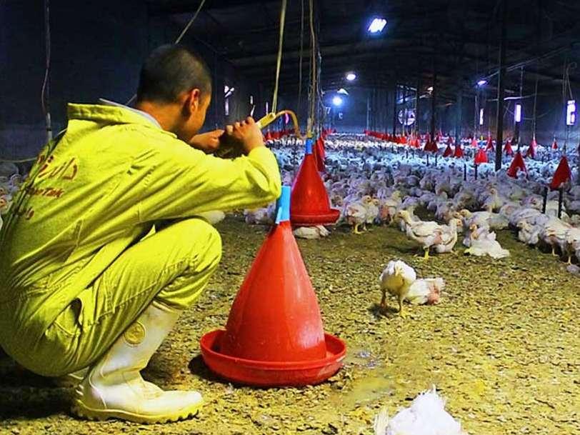 پرداخت خسارت به مرغداری های متضرر در آنفلوآنزای پرندگان