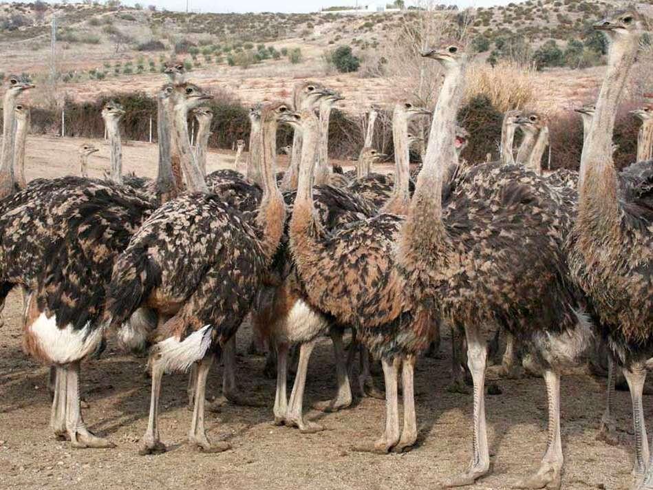 اصول کلی پرورش شتر مرغ