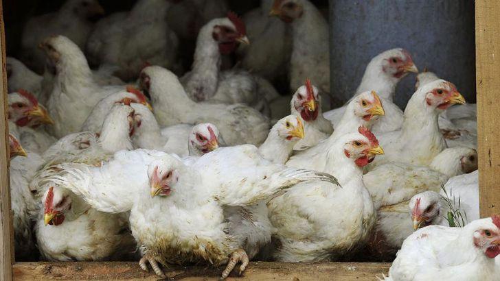 افزایش  شاغلین ، فعالین و تولید گوشت مرغ در کشور