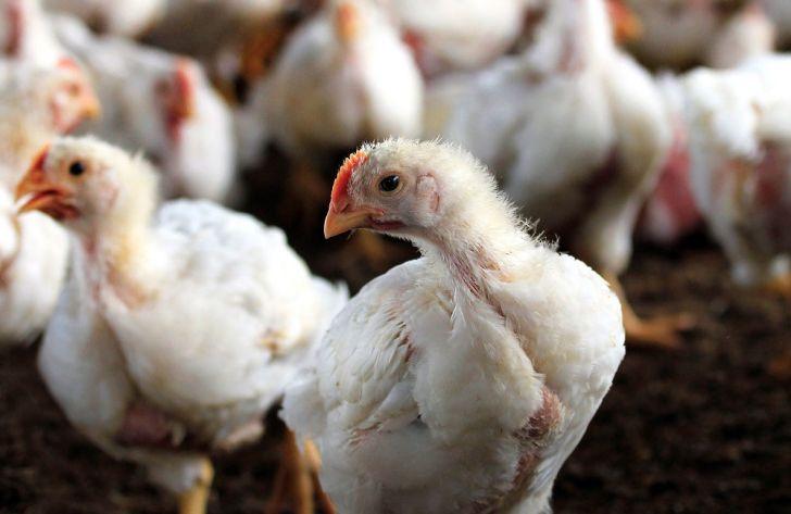 Risultati immagini per طیور ۵۰۰ واحد مرغداری کشور که درگیر بیماری آنفلوانزای پرندگان بودند، معدوم شدند.