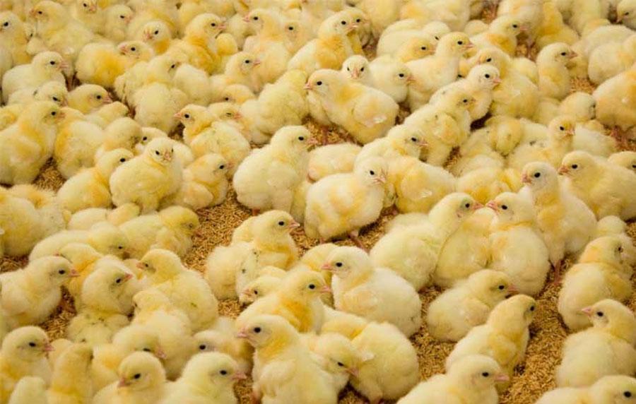 افزایش ۲۰ درصدی جوجهریزی در واحدهای مرغداری گوشتی