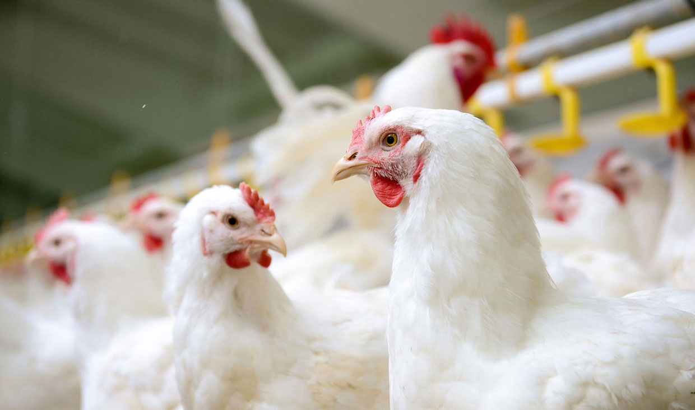 برگزاری-جلسه-هم-اندیشی-آنفلوانزای-پرندگان-توسط-ستاد-بحران-طیور-کشور