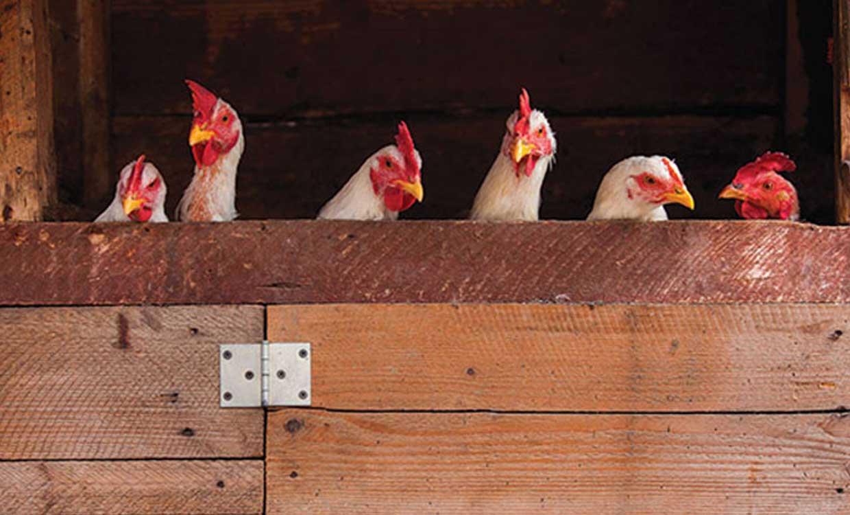 هیچیک از مرغداریهای اسدآباد بیمه نیستند