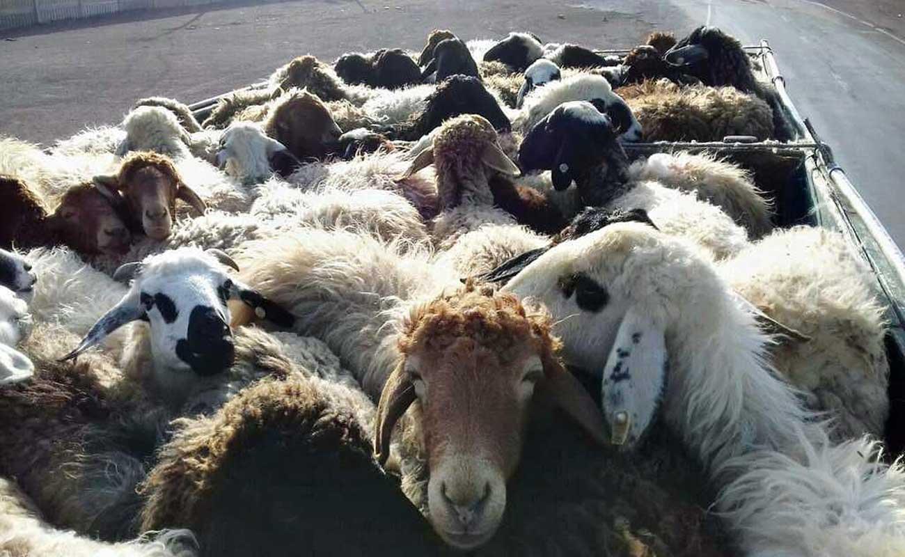 تکذیب صادرات گوسفند زنده از ایران به مقصد کشورهای عربی