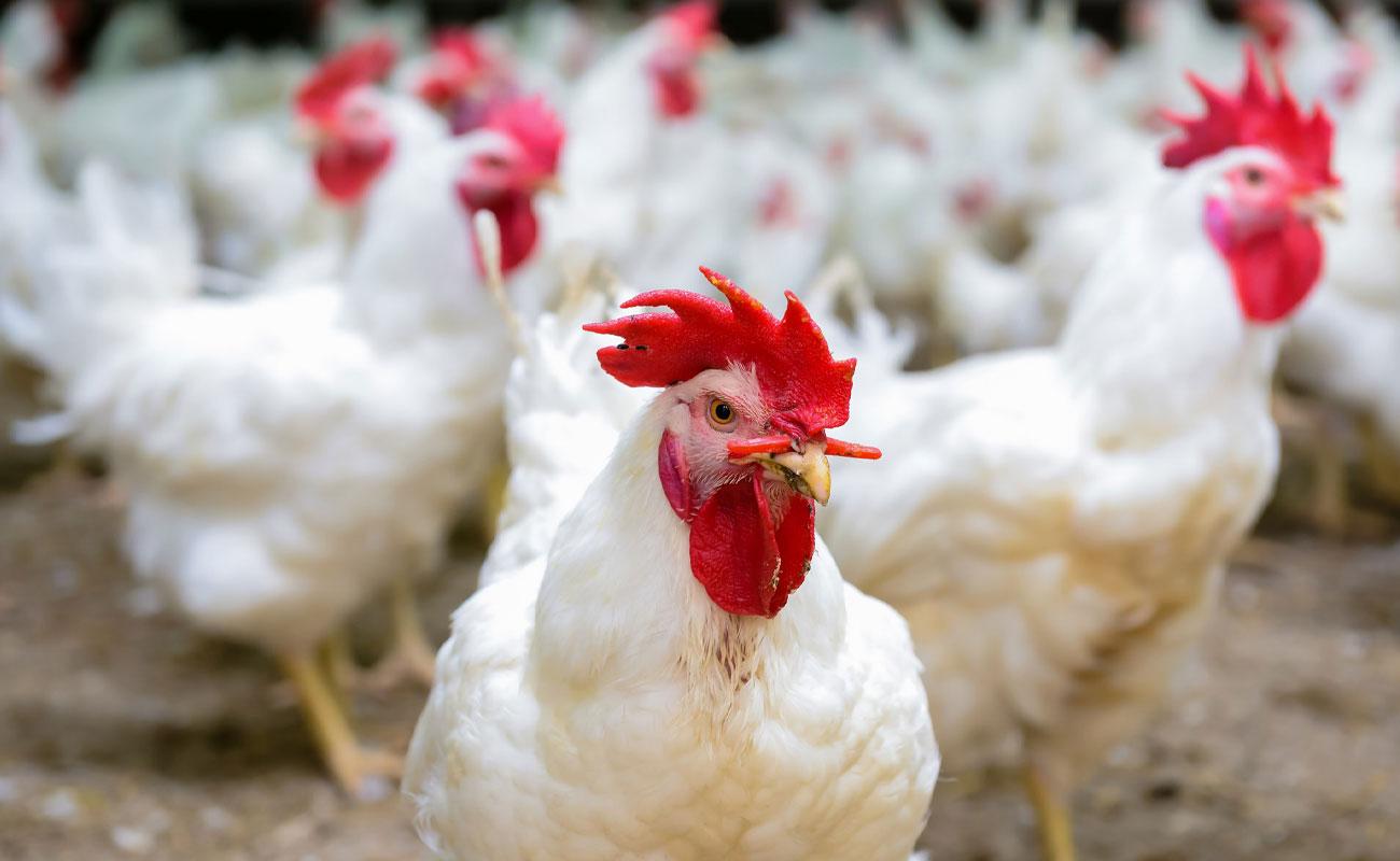 تمام مرغهای کشور رتبهبندی میشوند