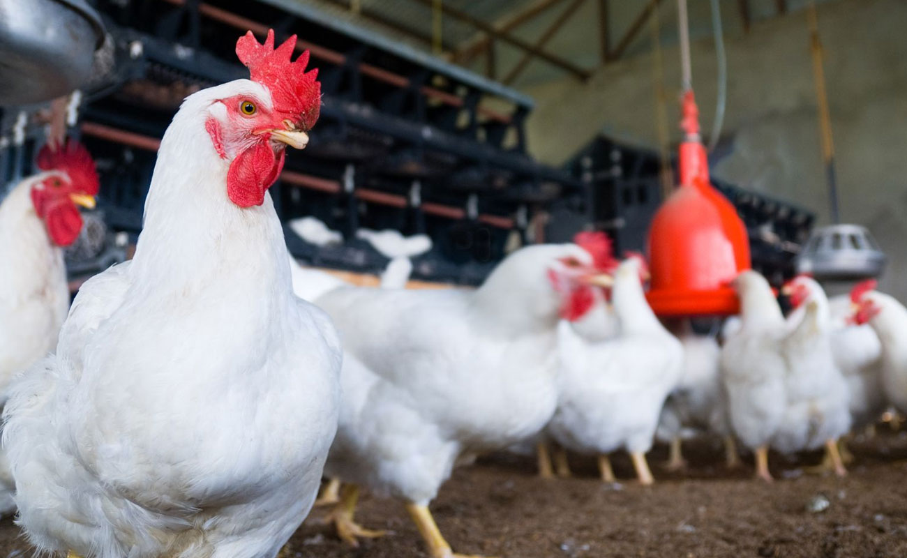 امکان خودکفایی ایران در تولید مرغ لاین با برنامهریزی ۲ ساله
