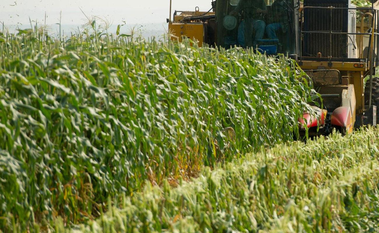 فائو: قیمت جهانی گندم و ذرت کاهش یافت