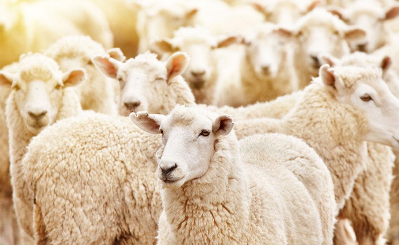 کمبود علوفه، انگیزه قوی برای فروش گوسفند در عید قربان
