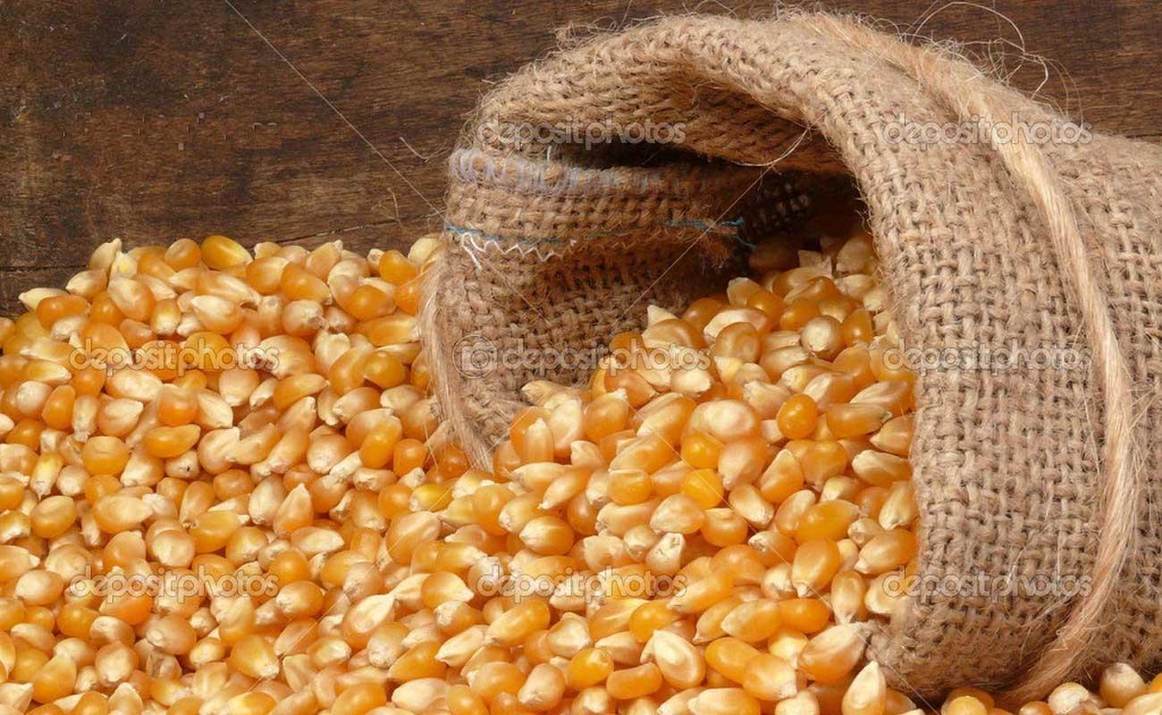بررسی وضعیت بازار ذرت دامی در کشور و مشکلات در حوزه تولید و واردات این نهاده مهم دامی
