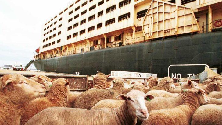 واردات دام زنده برای تعدیل قیمت گوشت