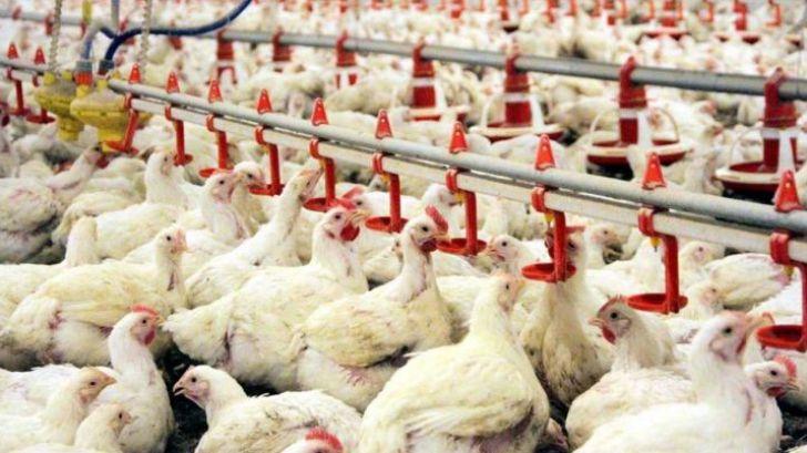 ظرفیت بسیاری از سالنهای پرورش مرغ گوشتی خالی است