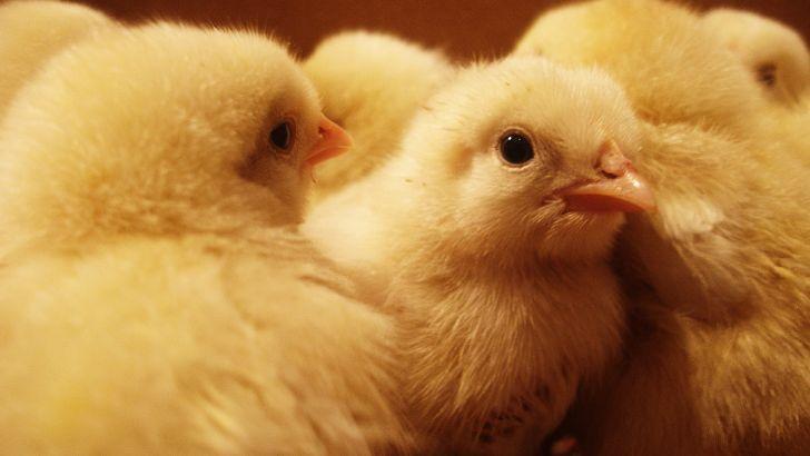 جوجهریزی برای تأمین مرغ مورد نیاز بازار در گیلان آغاز شد