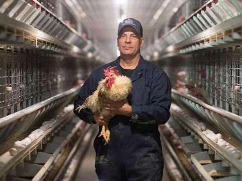 رهنمودهایی در زمینۀ نوک زنی در میان مرغ های تخمگذار