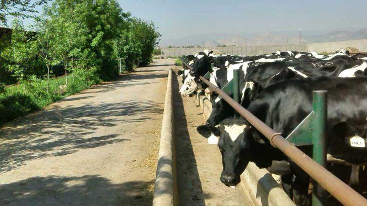 دامپروری کرمان در مرز بحران