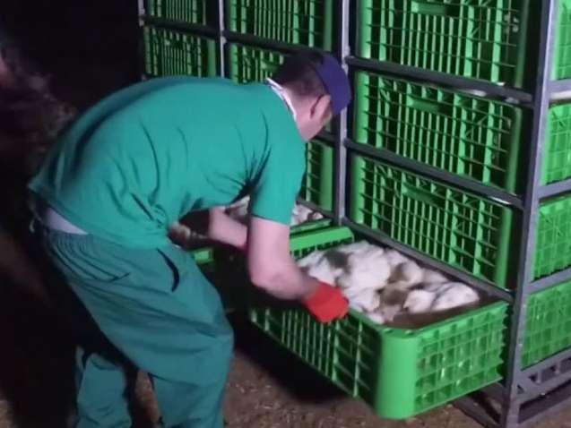 تضمین کیفیت و سرعت درزمان بارگیری مرغ گوشتی