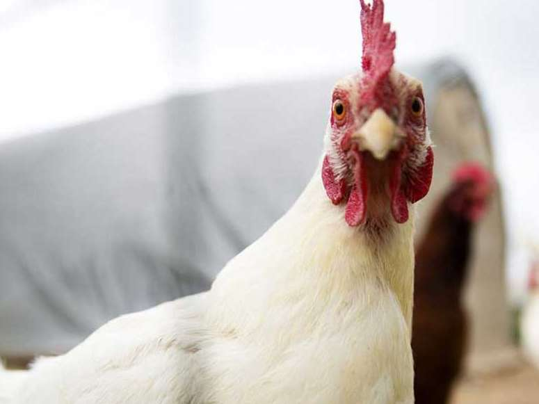 منتظر افزایش قیمت مرغ باشید