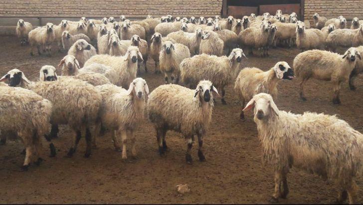 گوسفند زنده و مشکلات آن
