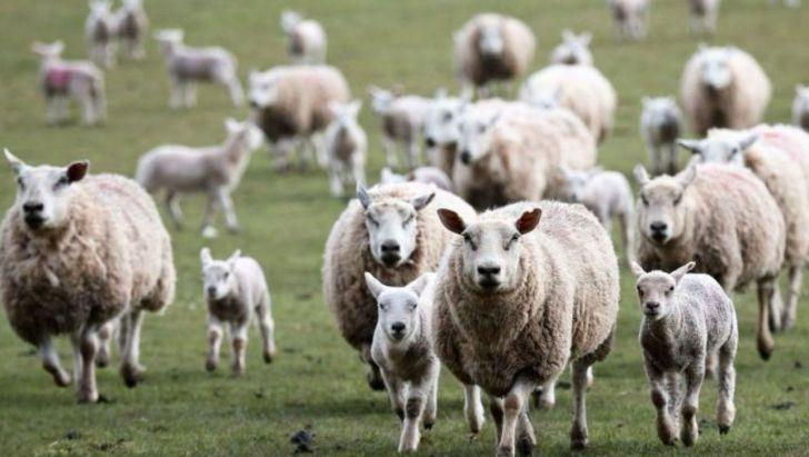 تاکید بر واردات دام مولد به جای واردات گوشت و دام زنده