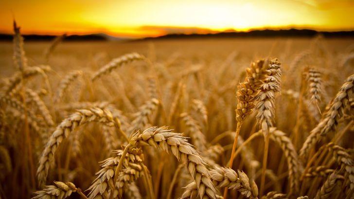کاهش شدید قیمت گندم در بازارهای جهانی