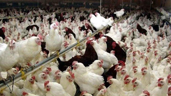 افزایش قیمت مرغ سراسری است