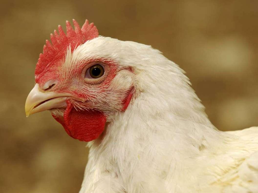 پیشبینی افزایش قیمت مرغ در تابستان