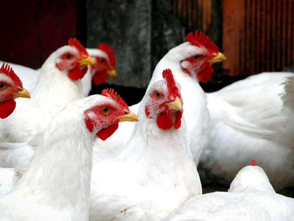 آرادان قطب تولید مرغ نیازمند حمایت ویژه است