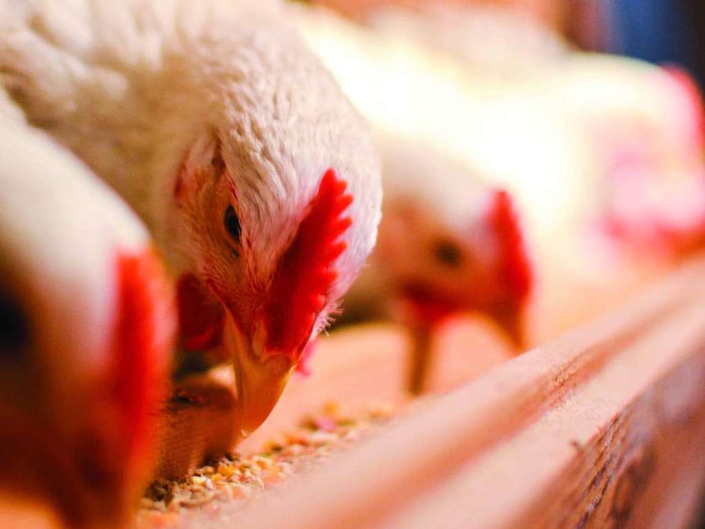 تعیین نرخ جدید مرغ