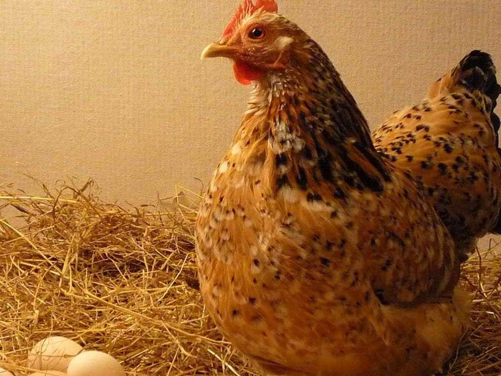 واردات مرغ و تخممرغ از ایران به هرات ممنوع شد
