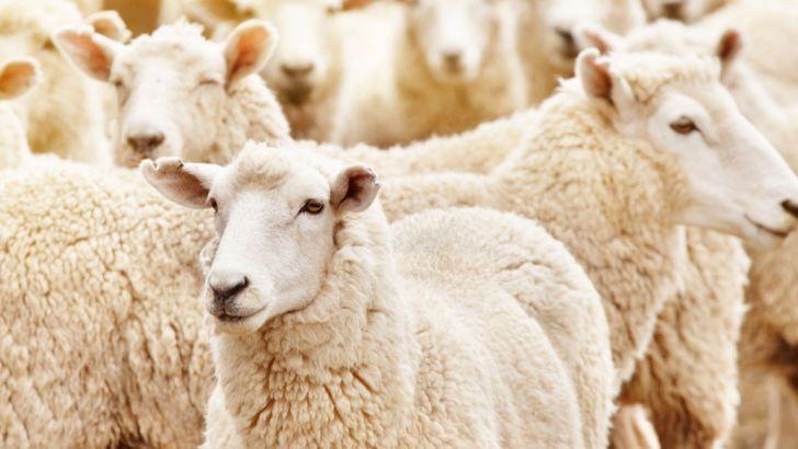 واردات گوسفند زنده از مغولستان