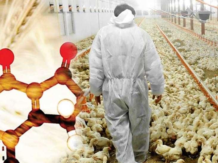 تدابیری برای کاهش تأثیرات سمی آفلاتوکسین ها بر روی جوجه های گوشتی
