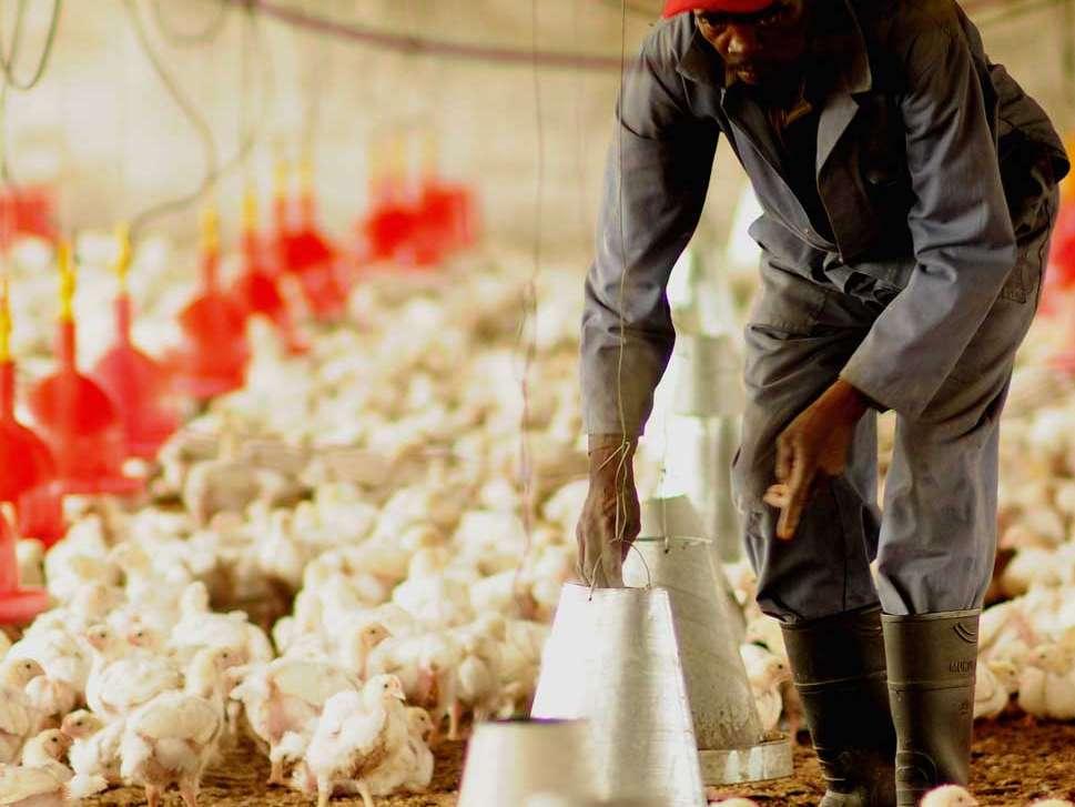 مرغی که مردم 15 هزار تومان خریداری میکنند برای مرغدار صرف ندارد