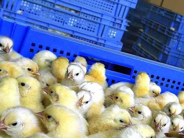 گام بزرگ انجمن جوجه یکروزه برای تنظیم بازار قیمت جوجه