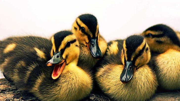 پرورش جوجه اردک ، از یک روزگی تا بیست روزگی