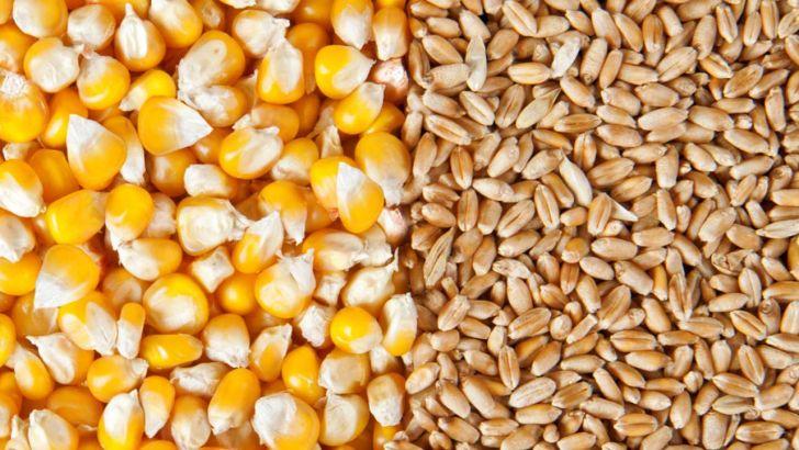 کاهش قیمت گندم، ذرت و دانههای روغنی در بازارهای جهانی