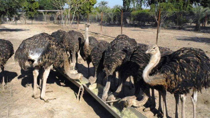 شترمرغهایی که به دلیل مشکلات مدیریتی و تغذیهای تلف میشوند