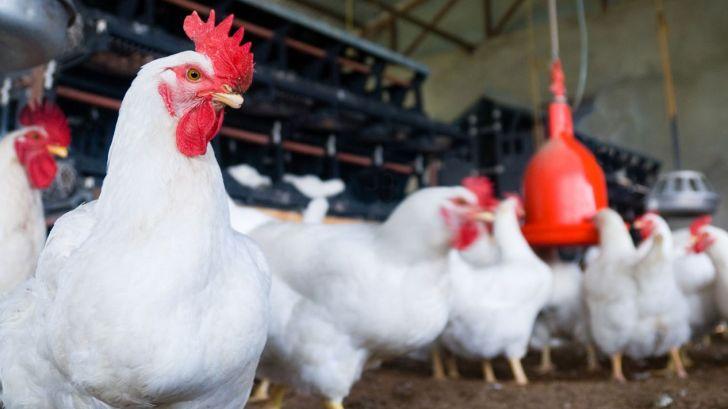 کنسرسیومی بینالمللی برای حل مقاومت آنتیبیوتیکی در مرغها ایجاد شد